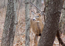 Jong Buck Peering Through Brush Stock Foto