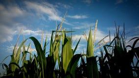 Jong die graan met blauwe hemel bij zonsondergang wordt ingediend - landbouw royalty-vrije stock afbeeldingen