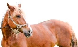 Jong die kastanjepaard op wit wordt geïsoleerd Stock Afbeelding