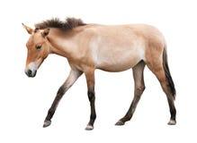Jong die paard op wit wordt geïsoleerd Stock Fotografie