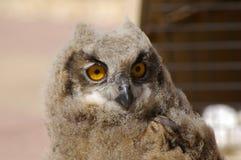 Jong Eagle Owl op toppositie royalty-vrije stock afbeelding