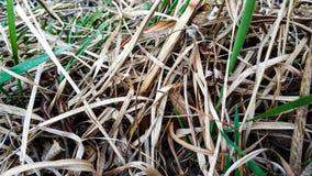Jong en droog gras dichtbij de meerclose-up stock afbeeldingen