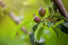 Jong fruit na het bloeien appel het hangen op een boom in de tuin Stock Afbeelding