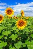 Jong gebied van zonnebloemenverticaal Royalty-vrije Stock Afbeeldingen