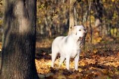 Jong geel Labrador in het park in de herfst stock afbeelding
