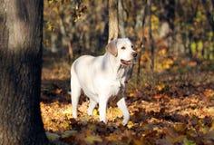 Jong geel Labrador in het park in de herfst royalty-vrije stock foto