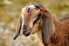 Jong geitje 3 van Nubian Royalty-vrije Stock Fotografie