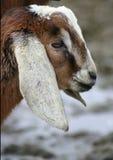 Jong geitje 5 van Nubian Royalty-vrije Stock Foto