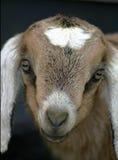 Jong geitje 6 van Nubian Royalty-vrije Stock Afbeeldingen