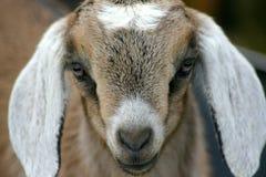 Jong geitje 7 van Nubian Stock Foto