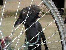Jong geitje in een kidding cyclus stock fotografie