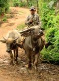 Jong geitje op buffels Royalty-vrije Stock Afbeeldingen