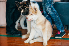 Jong Gelukkig Husky Puppy Eskimo Dog And Amerikaan Stock Foto