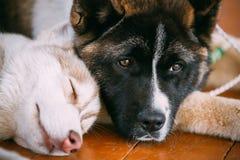 Jong Gelukkig Husky Puppy Eskimo Dog And Amerikaanse Akita royalty-vrije stock foto
