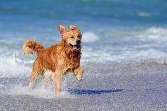 Jong golden retriever op het strand Stock Foto's