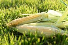 Jong graan op het gras in de zon stock afbeeldingen
