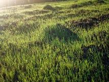 Jong gras op het gebied Royalty-vrije Stock Afbeeldingen