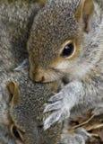 Jong Grey Squirrels Stock Foto