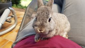 Jong grijs konijn op knie royalty-vrije stock fotografie