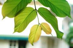 Jong groen blad royalty-vrije stock afbeelding
