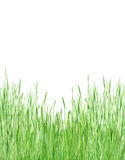 Jong groen gras Stock Fotografie