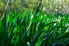 Jong groen gras Zondag Het wekken van aard stock afbeelding