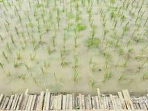 Jong groen padieveld met water en bamboebrug royalty-vrije stock fotografie