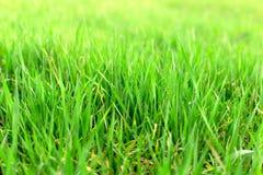 Jong groen tarwegebied, jonge tarweclose-up royalty-vrije stock afbeeldingen
