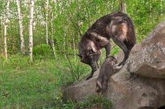 Jong het zwarte van Wolfs (Canis-wolfszweer) Horloges beklimt op Rots Stock Fotografie