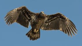 Jong Kaal Eagle Royalty-vrije Stock Afbeeldingen