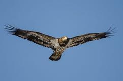 Jong Kaal Eagle Flying in de Blauwe Hemel royalty-vrije stock foto