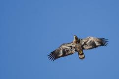 Jong Kaal Eagle Flying in de Blauwe Hemel royalty-vrije stock foto's