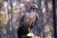 Jong Kaal Eagle, Land tussen Meren, KY Stock Fotografie