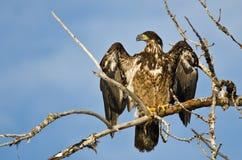 Jong Kaal Eagle Surveying het Gebied terwijl hoog Neergestreken in een Onvruchtbare Boom royalty-vrije stock foto