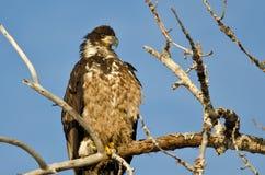 Jong Kaal Eagle Surveying het Gebied terwijl hoog Neergestreken in een Onvruchtbare Boom royalty-vrije stock fotografie