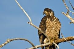 Jong Kaal Eagle Surveying het Gebied terwijl hoog Neergestreken in een Onvruchtbare Boom royalty-vrije stock afbeelding