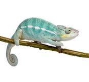 Jong Kameleon Furcifer Bemoeizieke Pardalis - ben Royalty-vrije Stock Foto's