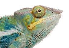 Jong Kameleon Furcifer Pardalis - Ankify Royalty-vrije Stock Afbeeldingen