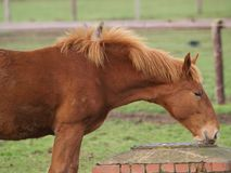 Jong kastanjepaard Royalty-vrije Stock Foto's