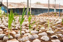 Jong kokosnotenparfum in de landbouwbedrijven van het kokosnotenfokken in omzetting royalty-vrije stock afbeeldingen