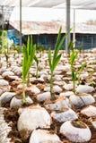 Jong kokosnotenparfum in de landbouwbedrijven van het kokosnotenfokken in omzetting royalty-vrije stock fotografie