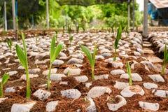 Jong kokosnotenparfum in de landbouwbedrijven van het kokosnotenfokken in omzetting royalty-vrije stock foto