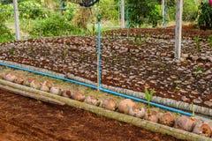 Jong kokosnotenparfum in de landbouwbedrijven van het kokosnotenfokken in omzetting royalty-vrije stock foto's