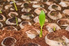 Jong kokosnotenparfum in de landbouwbedrijven van het kokosnotenfokken in omzetting stock afbeeldingen