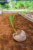 Jong kokosnotenparfum in de landbouwbedrijven van het kokosnotenfokken in omzetting stock foto's