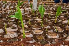 Jong kokosnotenparfum in de landbouwbedrijven van het kokosnotenfokken in omzetting stock afbeelding