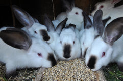 Jong konijnenras Californian_5 Royalty-vrije Stock Afbeelding
