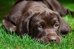Jong labrador retriever-puppy Stock Fotografie