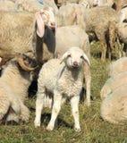 Jong lam in het midden van de grote troep van schapen en geiten Royalty-vrije Stock Fotografie