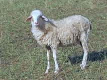 Jong Lam van een troep van schapen op een weide Royalty-vrije Stock Foto